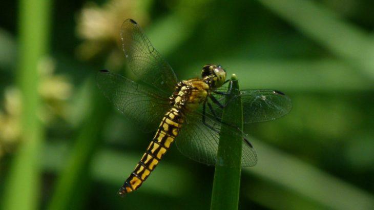 天然記念物・川南湿原でトンボを見る。閉園日にご注意を。