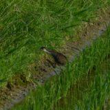 シロハラクイナの新繁殖地⁈ 宮崎で幼鳥を発見。