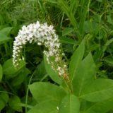 ヌマトラノオとオカトラノオの比較。花序の形に注目あれ。