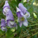 烏帽子の形の有毒植物・タンナトリカブト。花弁と見せかけて萼片⁈