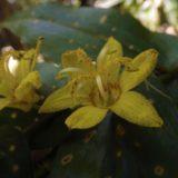 宮崎・尾鈴山の固有種、キバナノツキヌキホトトギス 名前の由来も。