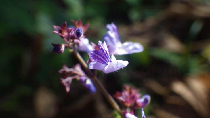 秋枯れの野原にも・ヤマハッカ。青紫色の小さな花が整列します