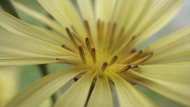 ホソバアキノノゲシは文字通り細い葉のアキノノゲシ。黄色い花