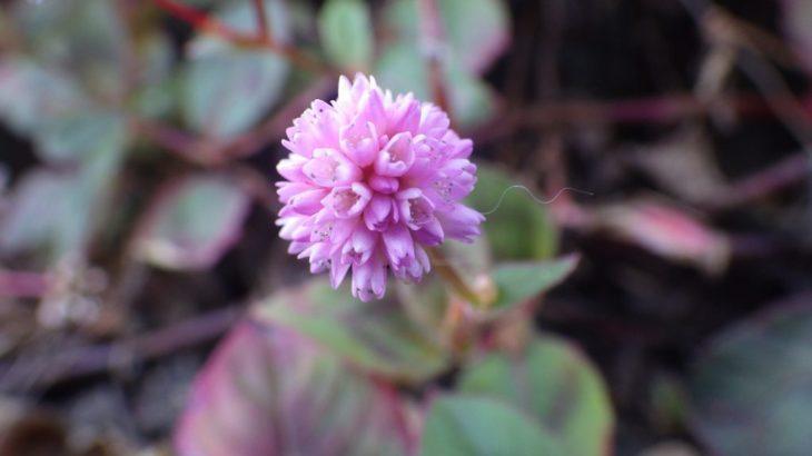 ピンク色のヒメツルソバの花 ~ツルソバと本気で比較してみた~