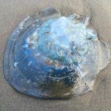 クリスマスに富田浜で見つけた青い大きなクラゲ・ビゼンクラゲ?