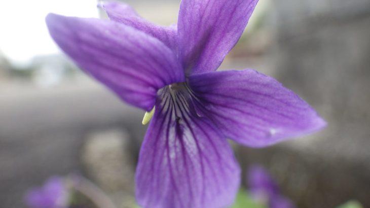 ノジスミレ/地上茎なし。春の道ばたに咲く紫色のスミレの仲間。