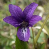 スミレ(マンジュリカ)/地上茎なし。道ばたなどに春咲く紫のスミレ。