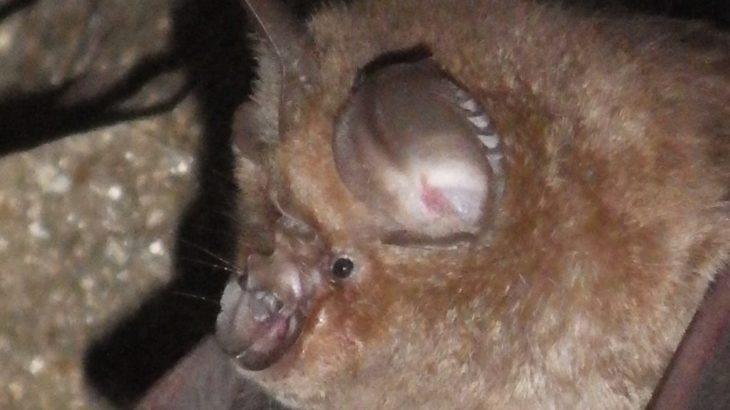 洞窟でキクガシラコウモリに出会った。不思議な鼻の形をアブラコウモリと比較。
