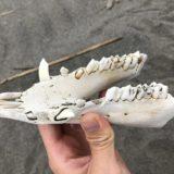 鋭い牙!砂浜を歩いていたら、イノシシの下顎骨が落ちていたので拾って帰った。