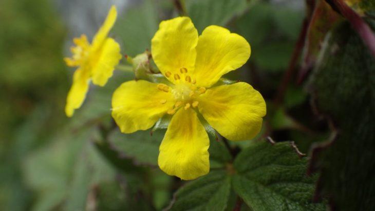 宮崎県北の山の夏。今年はちょっと花が少ない? 高山の植物たちをご紹介。