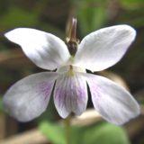 ニョイスミレ(ツボスミレ)/地上茎あり。湿った場所にしげる白い花のスミレ。