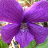 チシオスミレ/地上茎なし。紫色の花。葉脈が赤いサクラスミレの品種。