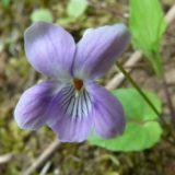 ナガバノタチツボスミレ/地上茎あり。山地に見られる紫色のスミレ。