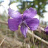 サクラスミレ/地上茎なし。大ぶりの紫色の花を咲かせるきれいなスミレ。