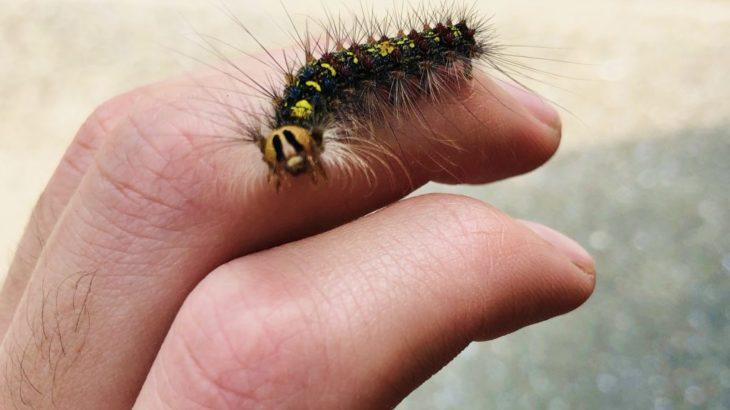 ニャッキみたいな顔の毛虫。マイマイガは一応ドクガの仲間だけど、毒は……