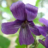 アカネスミレ/地上茎なし。日向を好む紫色のスミレ。毛の生え方に注目。