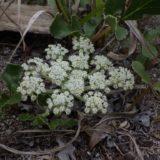 ハマボウフウ/砂浜の地面に埋まったように咲くくす玉状の白い花