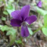 オカスミレ/地上茎なし。紫色の花を咲かせるアカネスミレの毛無品種