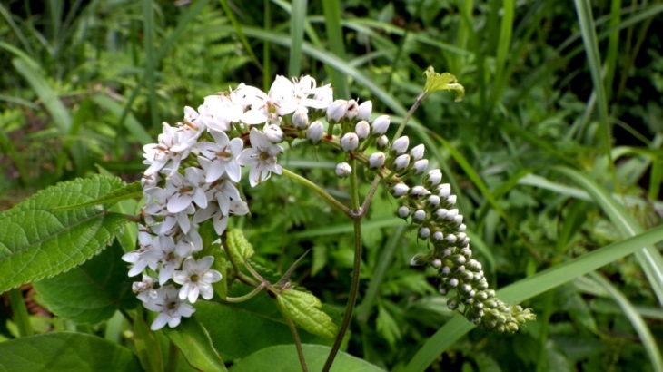 オカトラノオ/初夏に咲く、虎の尻尾のような豪華な白い花